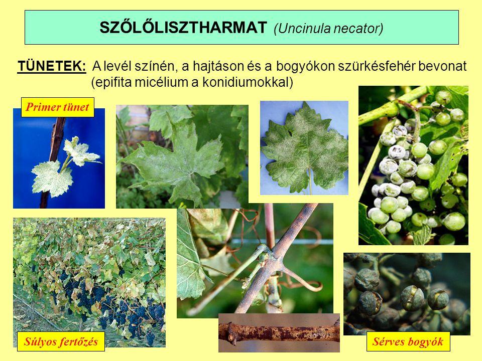 SZŐLŐLISZTHARMAT (Uncinula necator)