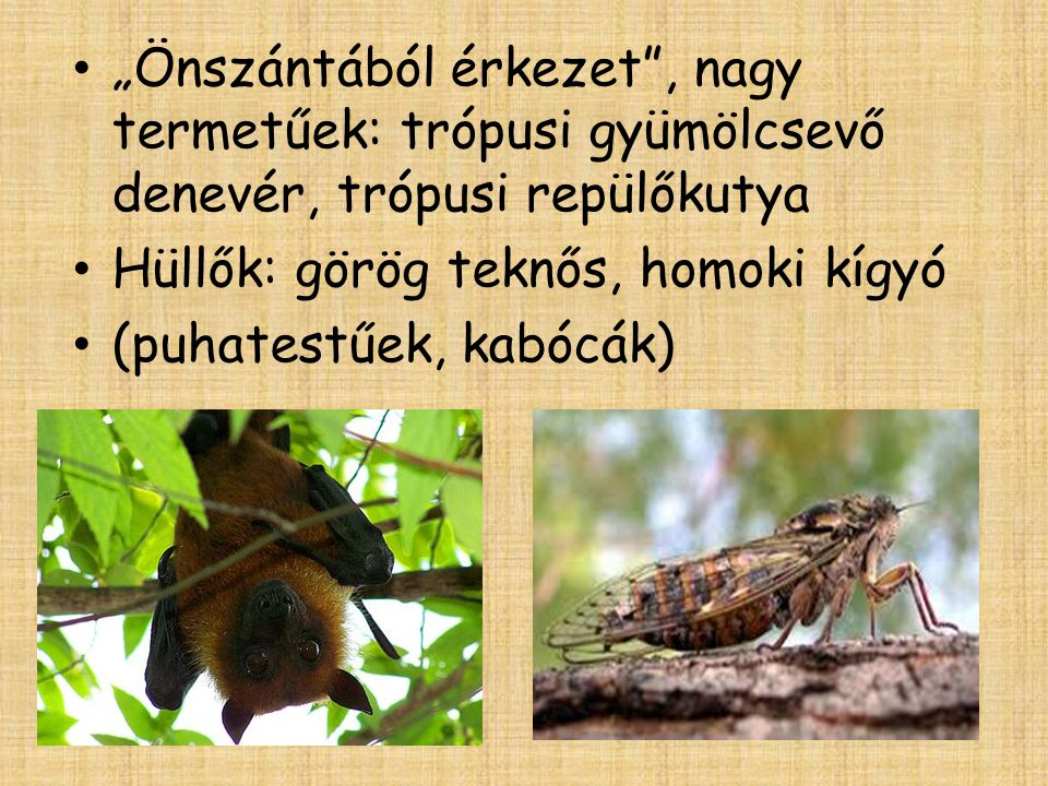 """""""Önszántából érkezet , nagy termetűek: trópusi gyümölcsevő denevér, trópusi repülőkutya"""