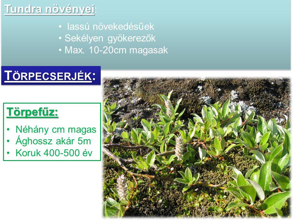 Törpecserjék: Tundra növényei: Törpefűz: lassú növekedésűek
