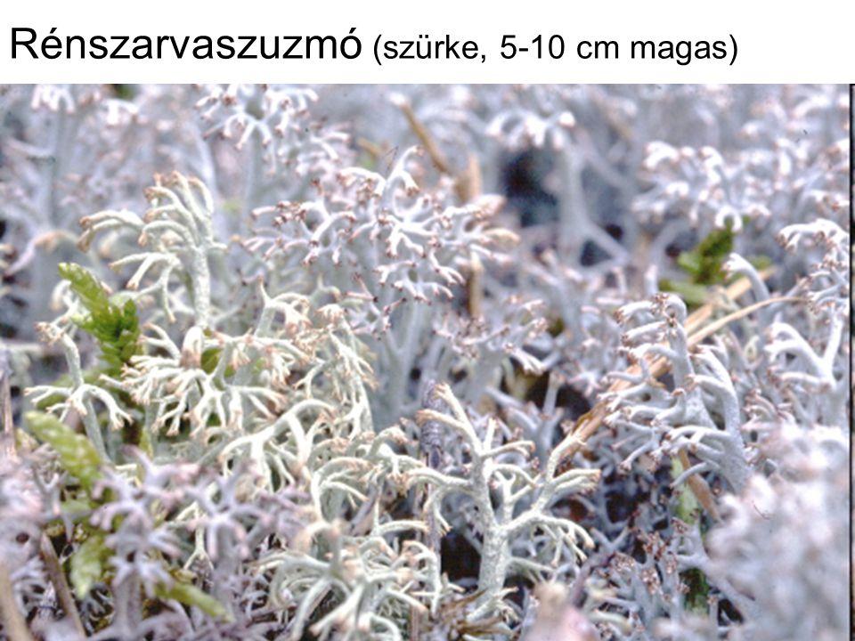 Rénszarvaszuzmó (szürke, 5-10 cm magas)