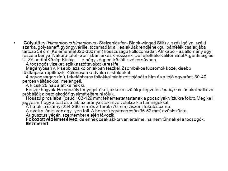 Gólyatöcs (Himantopus himantopus - Stelzenläufer - Black-winged Stilt) v.
