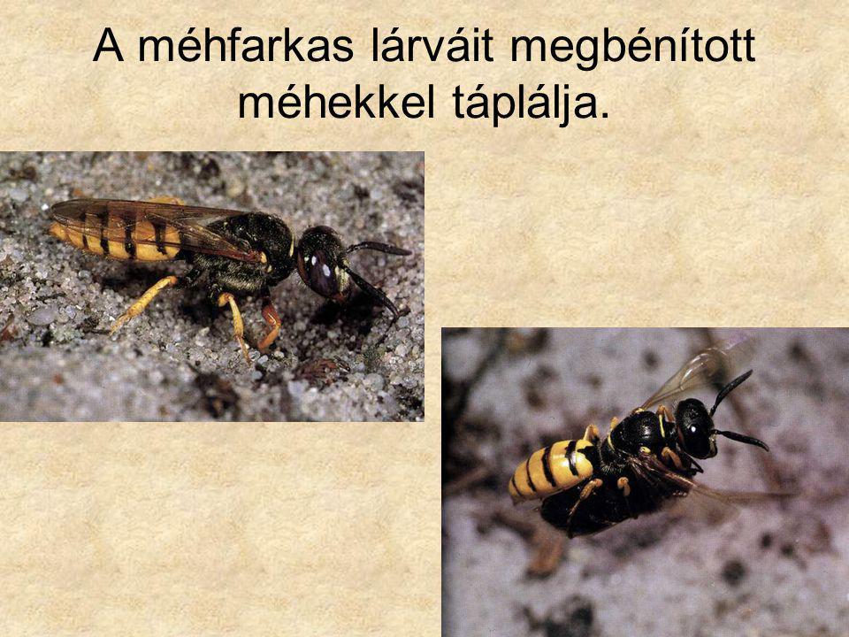 A méhfarkas lárváit megbénított méhekkel táplálja.