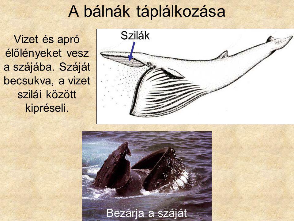 A bálnák táplálkozása Szilák