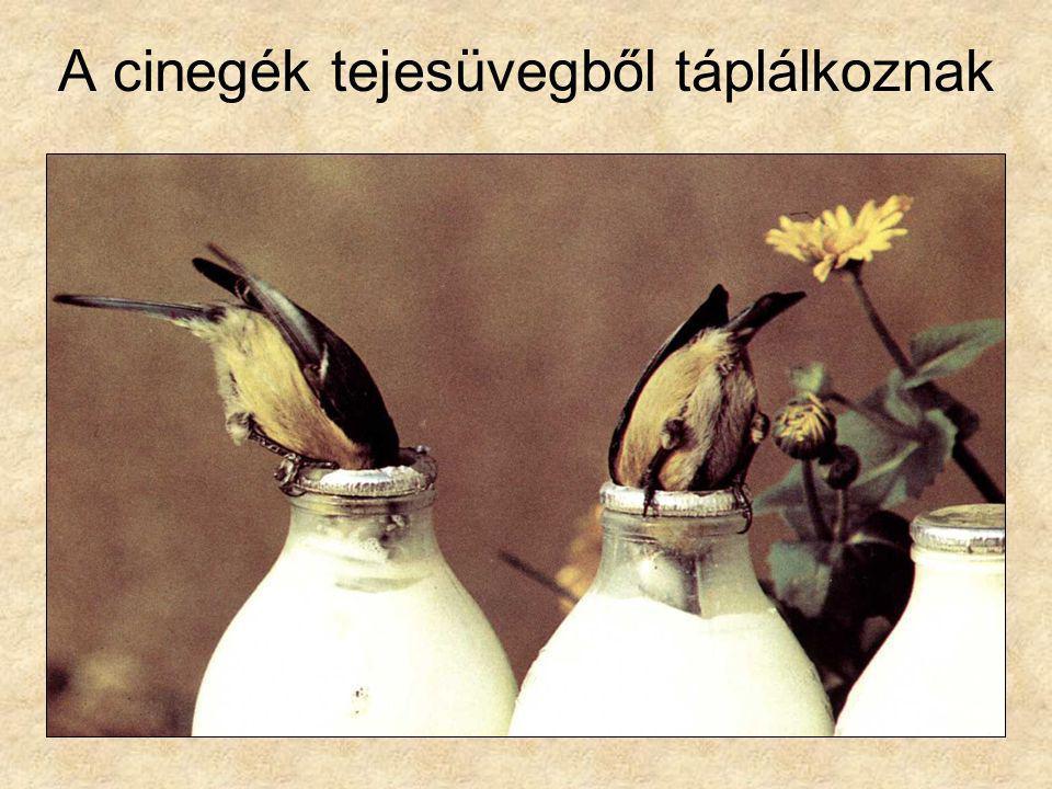 A cinegék tejesüvegből táplálkoznak