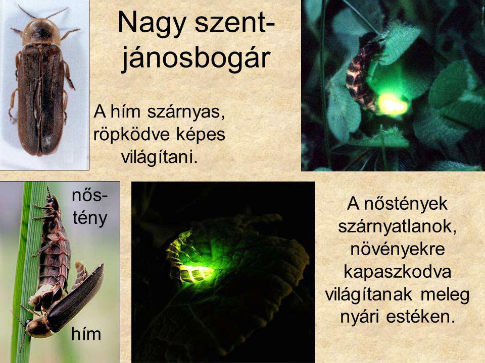 Nagy szent- jánosbogár