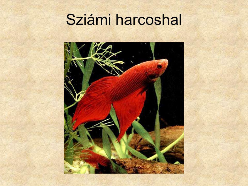 Sziámi harcoshal Különleges állatok, Guiness