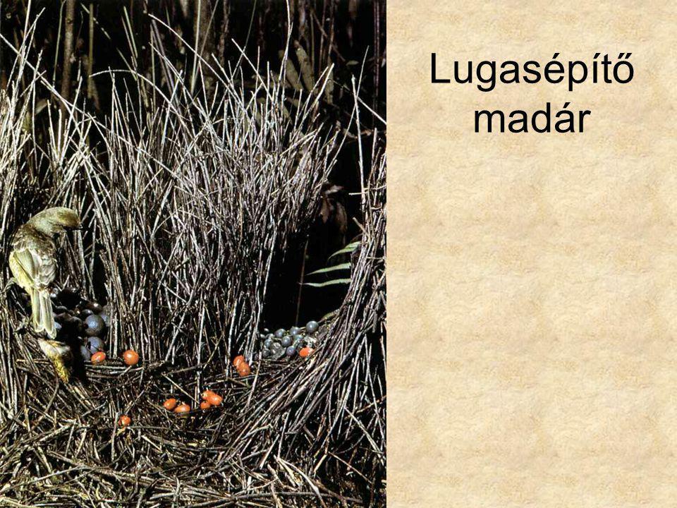 Lugasépítő madár Desmond Morris: Állatlesen, Európa Könyvkiadó, 1992.