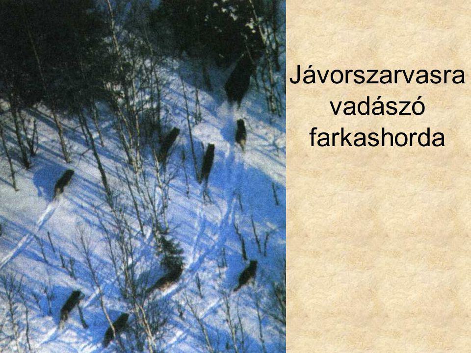 Jávorszarvasra vadászó farkashorda