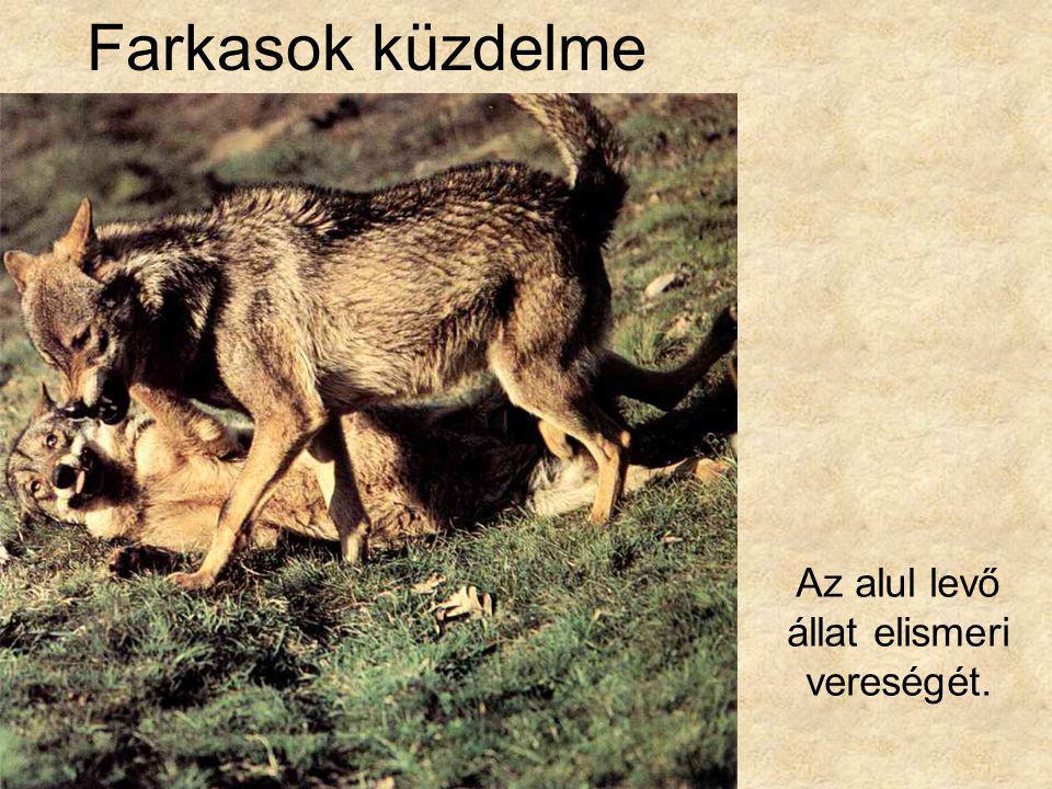 Az alul levő állat elismeri vereségét.