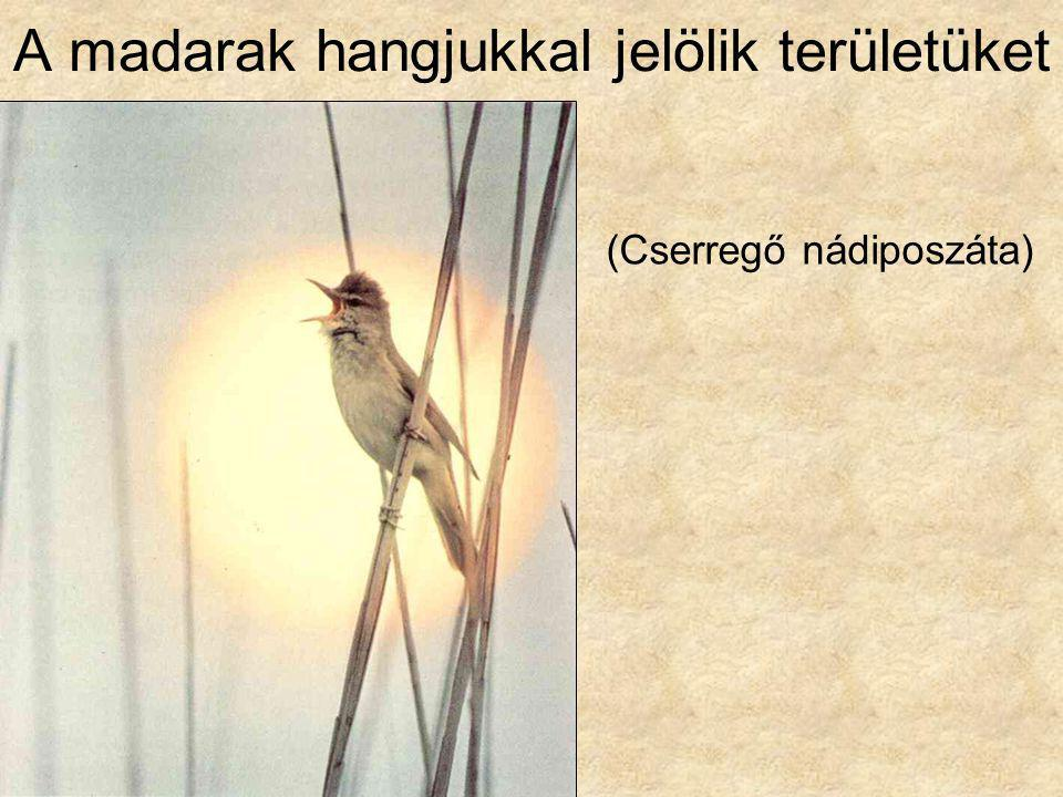 A madarak hangjukkal jelölik területüket