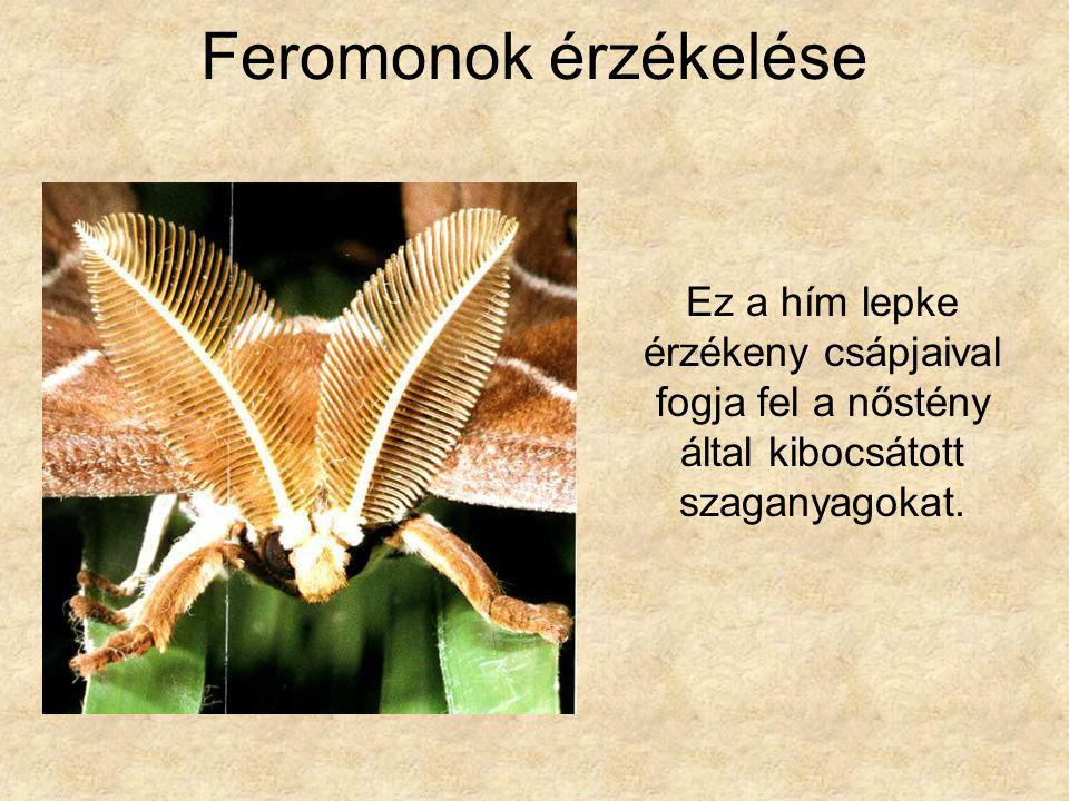 Feromonok érzékelése Ez a hím lepke érzékeny csápjaival fogja fel a nőstény által kibocsátott szaganyagokat.