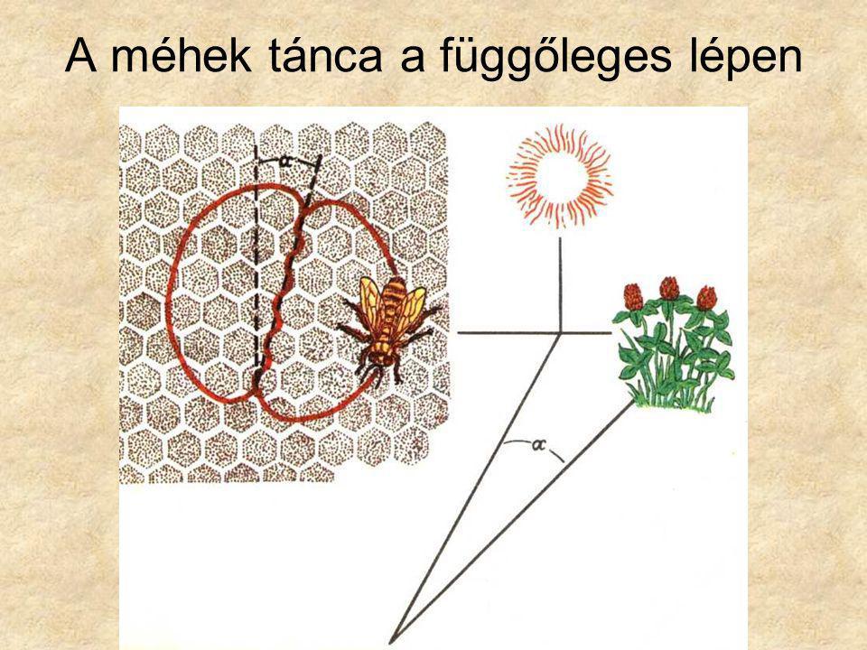 A méhek tánca a függőleges lépen
