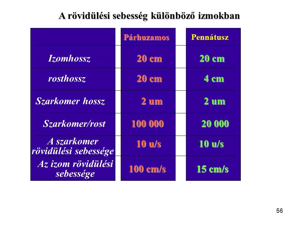 A rövidülési sebesség különböző izmokban