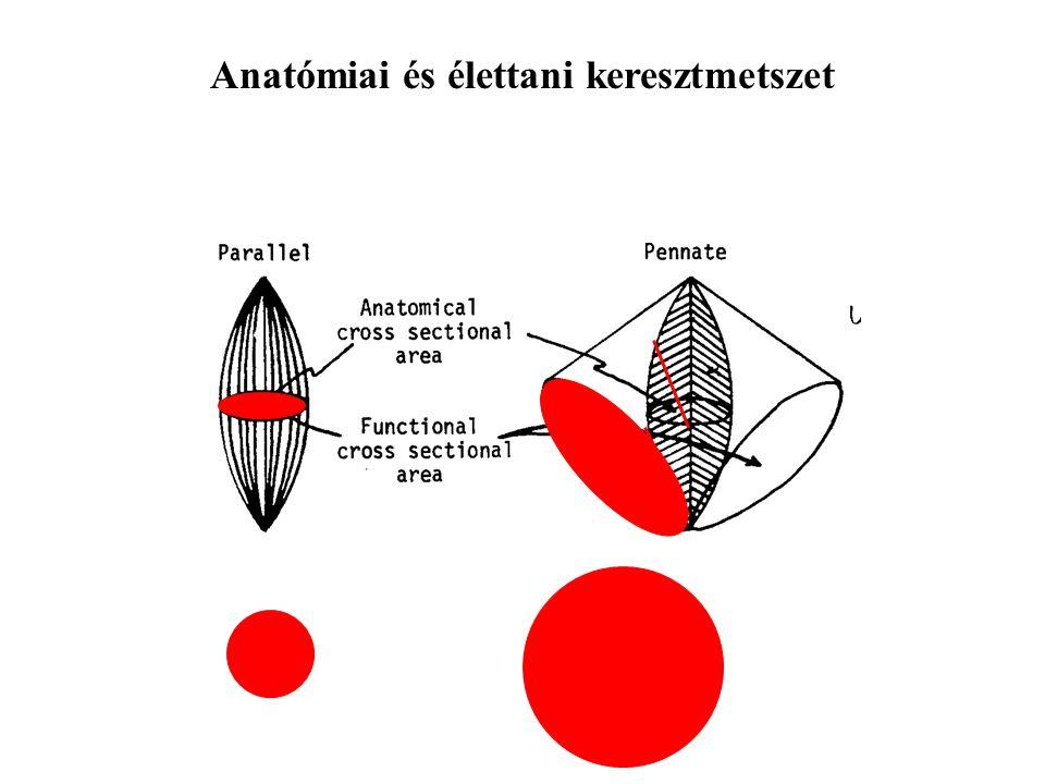 Anatómiai és élettani keresztmetszet