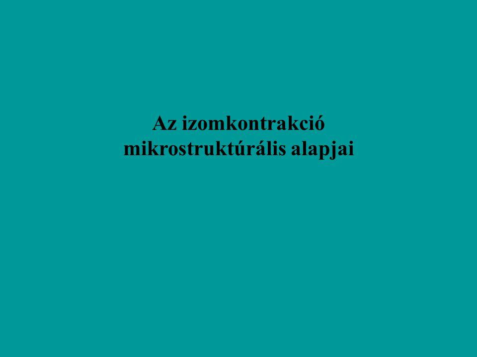 Az izomkontrakció mikrostruktúrális alapjai