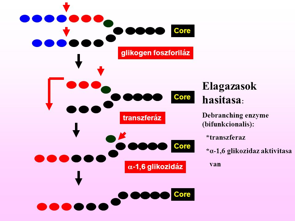 Elagazasok hasitasa: Core glikogen foszforiláz