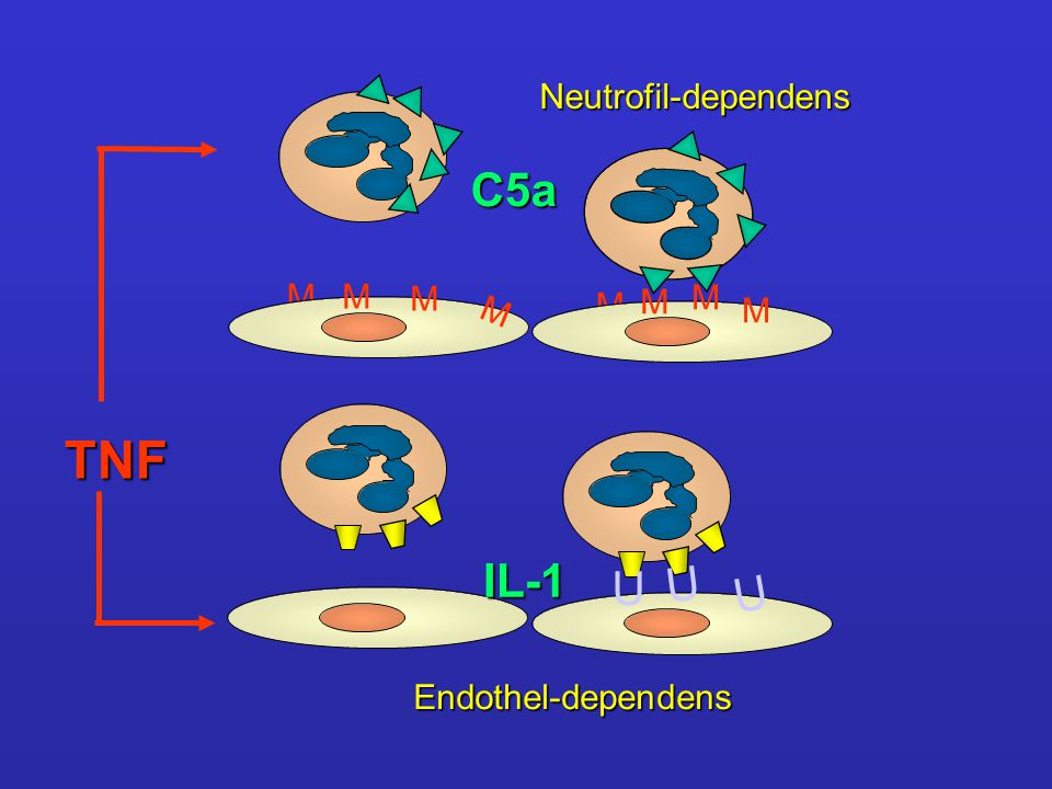 TNF C5a IL-1 U U U Neutrofil-dependens M M M M M M M M