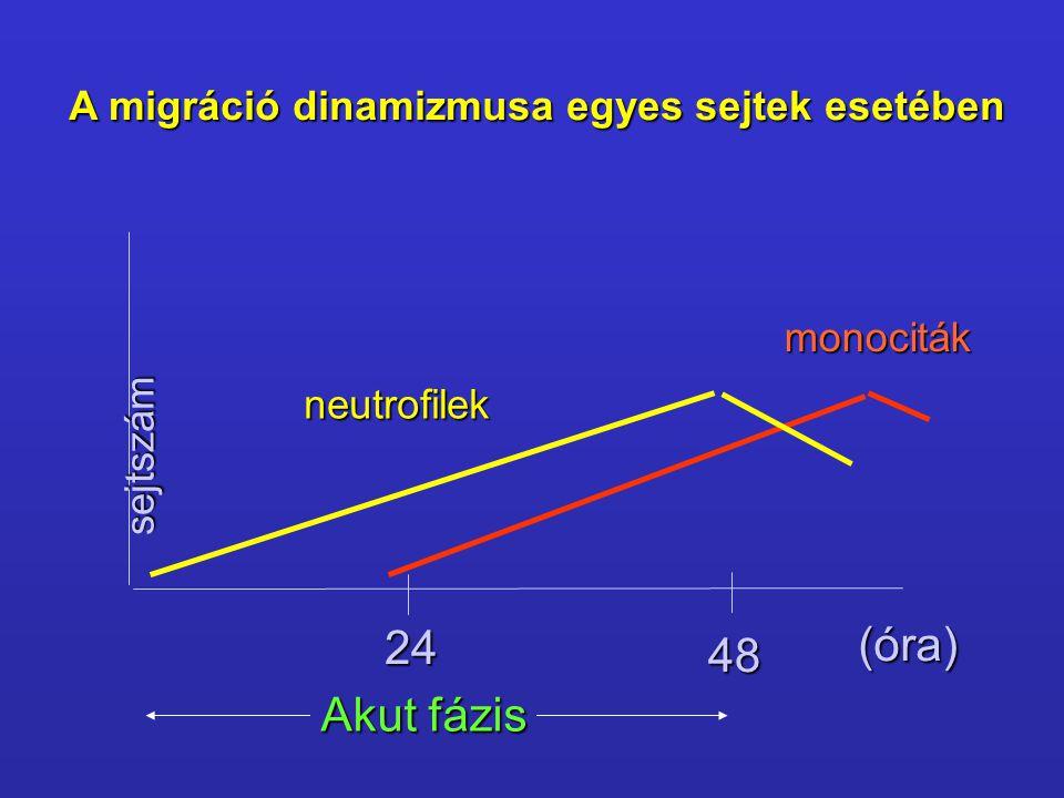(óra) 24 48 Akut fázis A migráció dinamizmusa egyes sejtek esetében