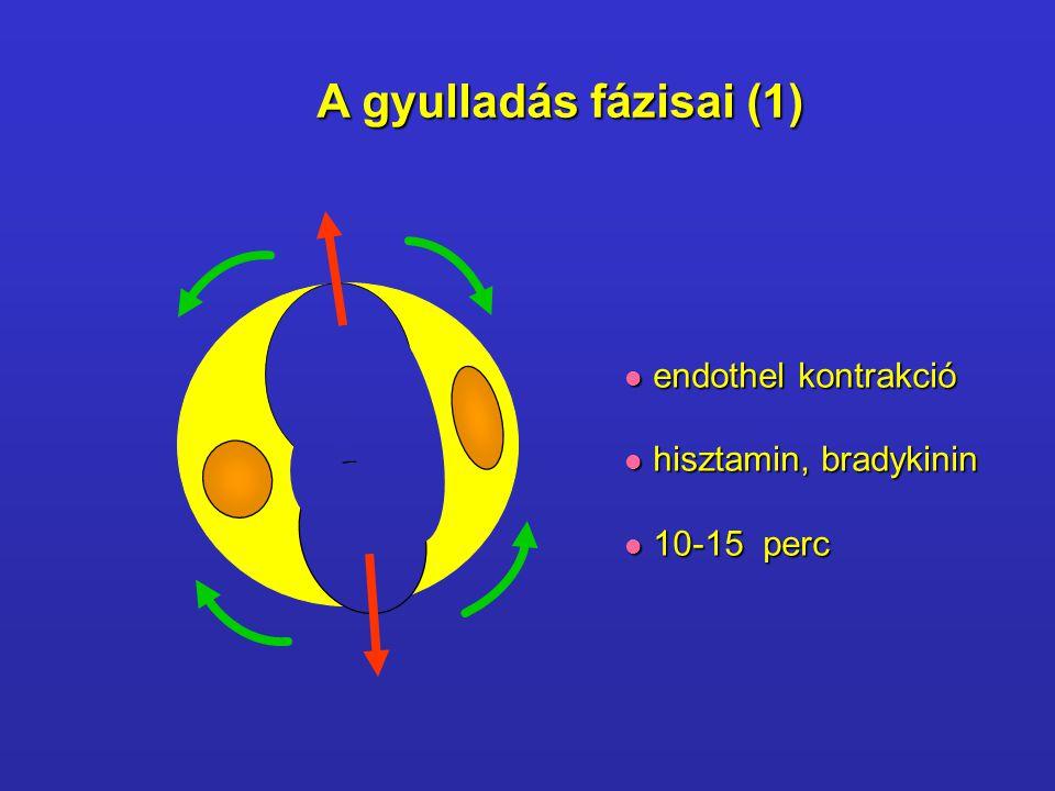 A gyulladás fázisai (1) endothel kontrakció hisztamin, bradykinin