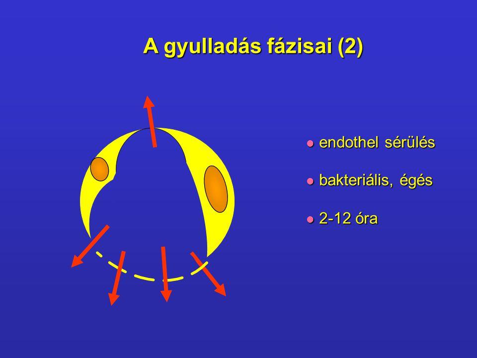 A gyulladás fázisai (2) endothel sérülés bakteriális, égés 2-12 óra