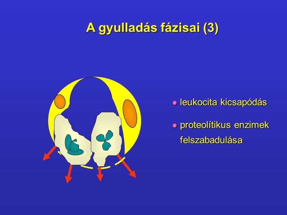 A gyulladás fázisai (3) leukocita kicsapódás proteolítikus enzimek