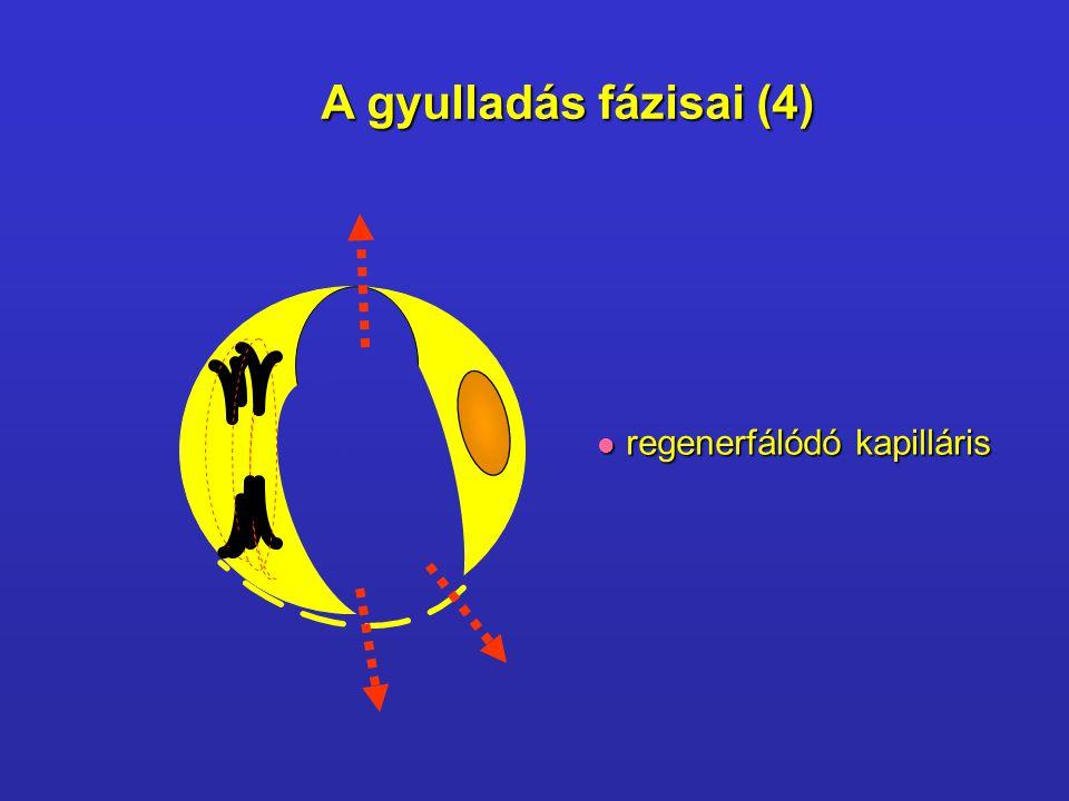 A gyulladás fázisai (4) regenerfálódó kapilláris