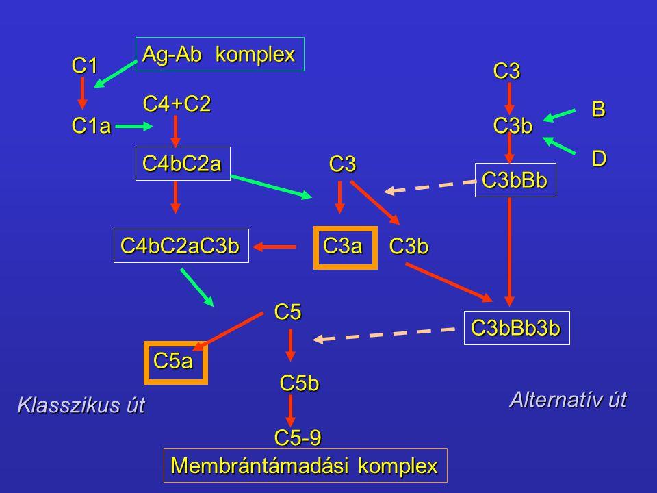 Ag-Ab komplex C1. C3. C4+C2. B. C1a. C3b. D. C4bC2a. C3. C3bBb. C4bC2aC3b. C3a. C3b. C5.