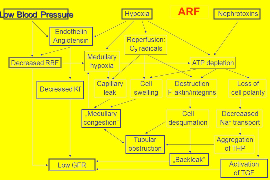 ARF Low Blood Pressure Hypoxia Nephrotoxins Endothelin Angiotensin