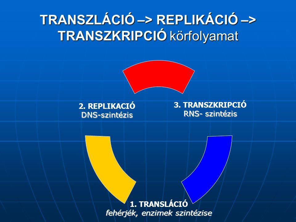 TRANSZLÁCIÓ –> REPLIKÁCIÓ –> TRANSZKRIPCIÓ körfolyamat