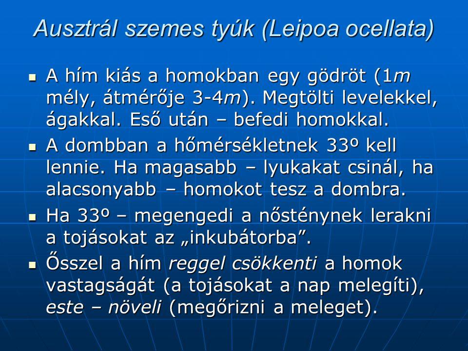 Ausztrál szemes tyúk (Leipoa ocellata)