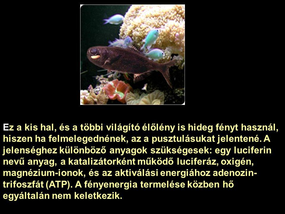 Ez a kis hal, és a többi világító élőlény is hideg fényt használ, hiszen ha felmelegednének, az a pusztulásukat jelentené.
