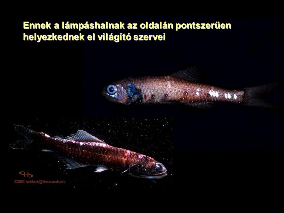 Ennek a lámpáshalnak az oldalán pontszerüen helyezkednek el világító szervei