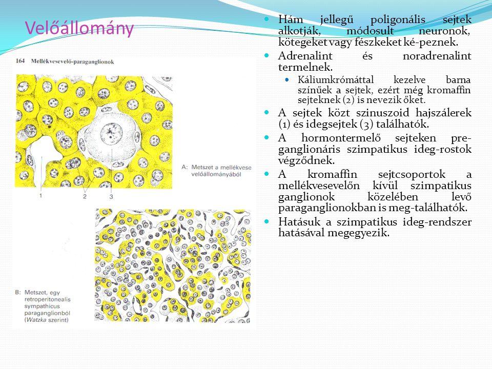 Velőállomány Hám jellegű poligonális sejtek alkotják, módosult neuronok, kötegeket vagy fészkeket ké-peznek.