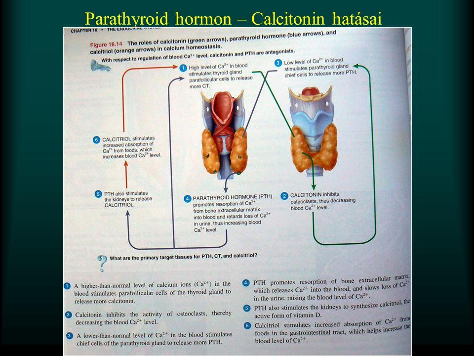 Parathyroid hormon – Calcitonin hatásai