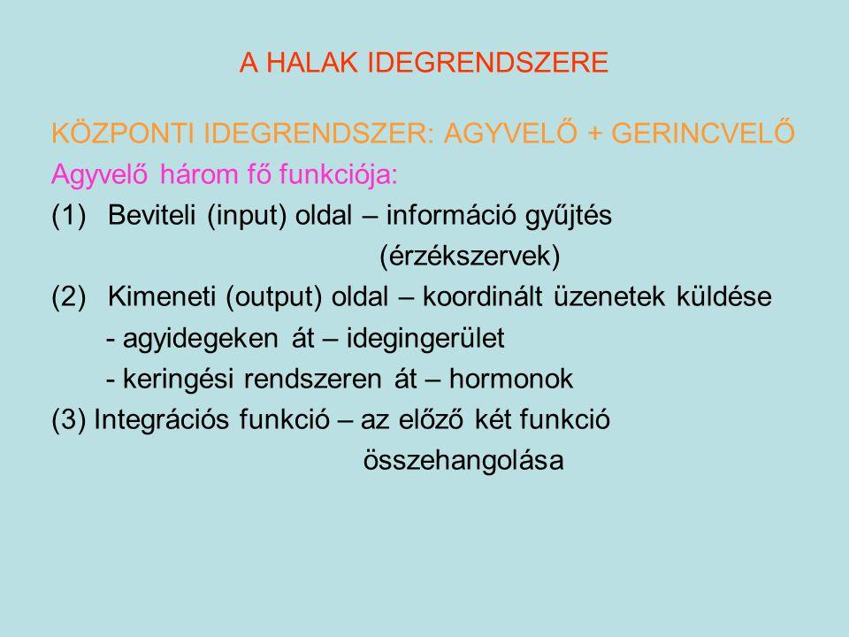 A HALAK IDEGRENDSZERE KÖZPONTI IDEGRENDSZER: AGYVELŐ + GERINCVELŐ. Agyvelő három fő funkciója: Beviteli (input) oldal – információ gyűjtés.