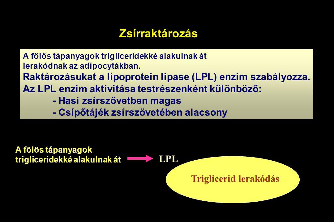 Zsírraktározás A fölös tápanyagok trigliceridekké alakulnak át. lerakódnak az adipocytákban.