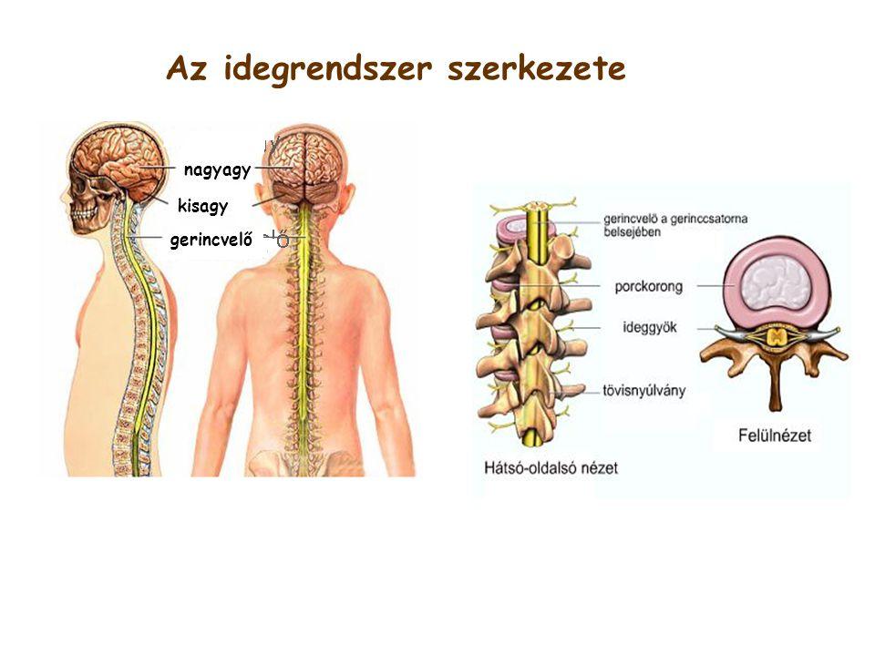 Az idegrendszer szerkezete
