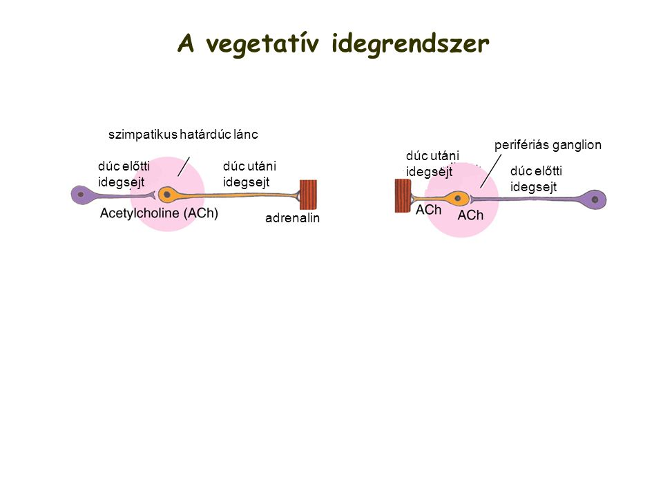 A vegetatív idegrendszer