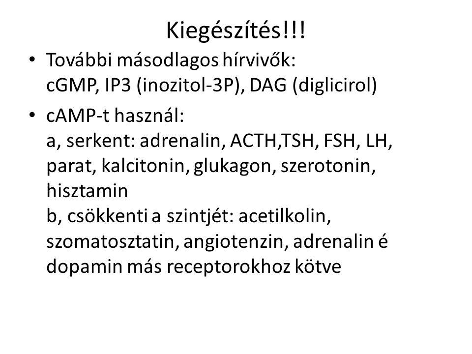 Kiegészítés!!! További másodlagos hírvivők: cGMP, IP3 (inozitol-3P), DAG (diglicirol)