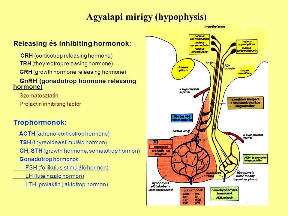 Agyalapi mirigy (hypophysis)