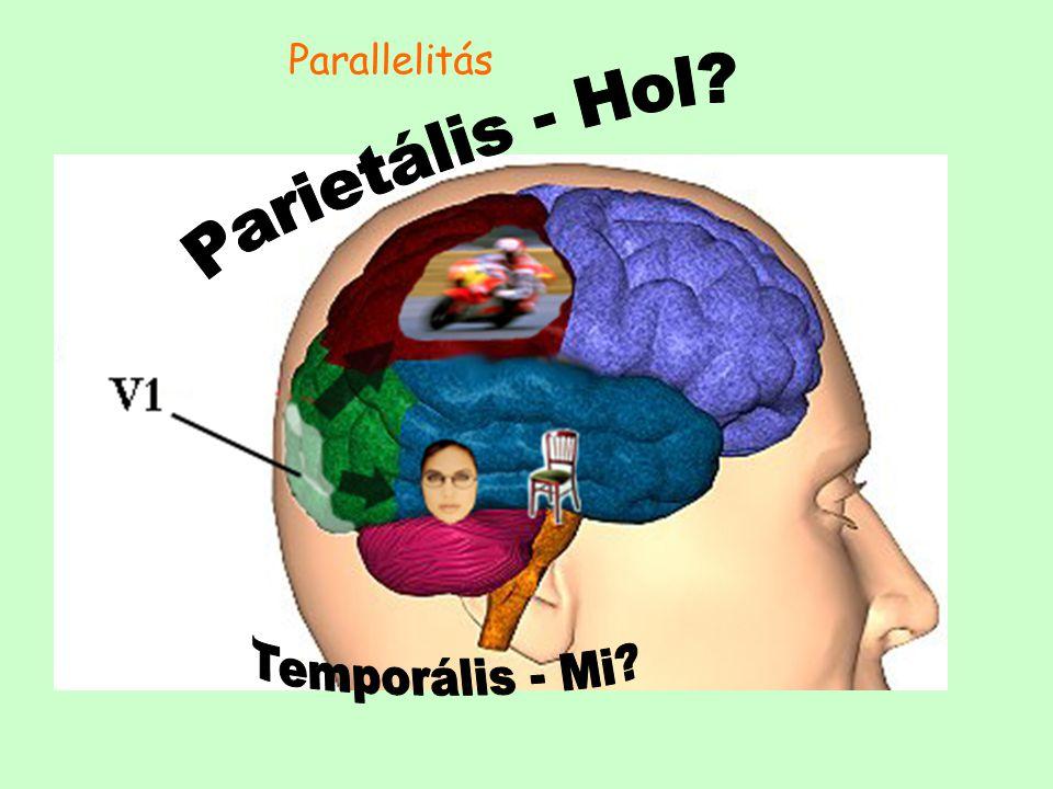 Parallelitás Parietális - Hol Temporális - Mi