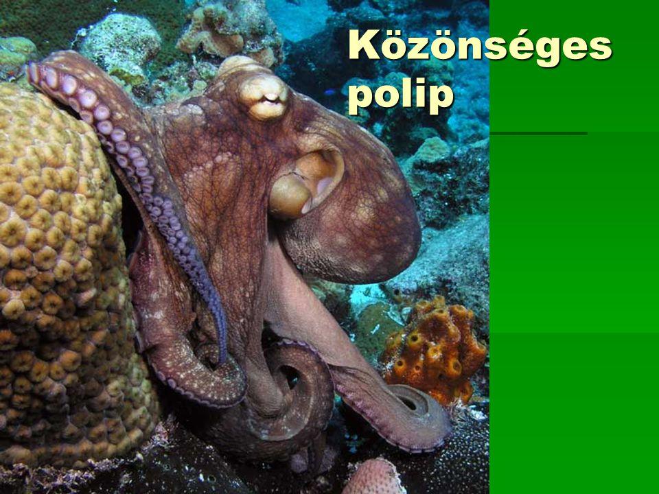Közönséges polip