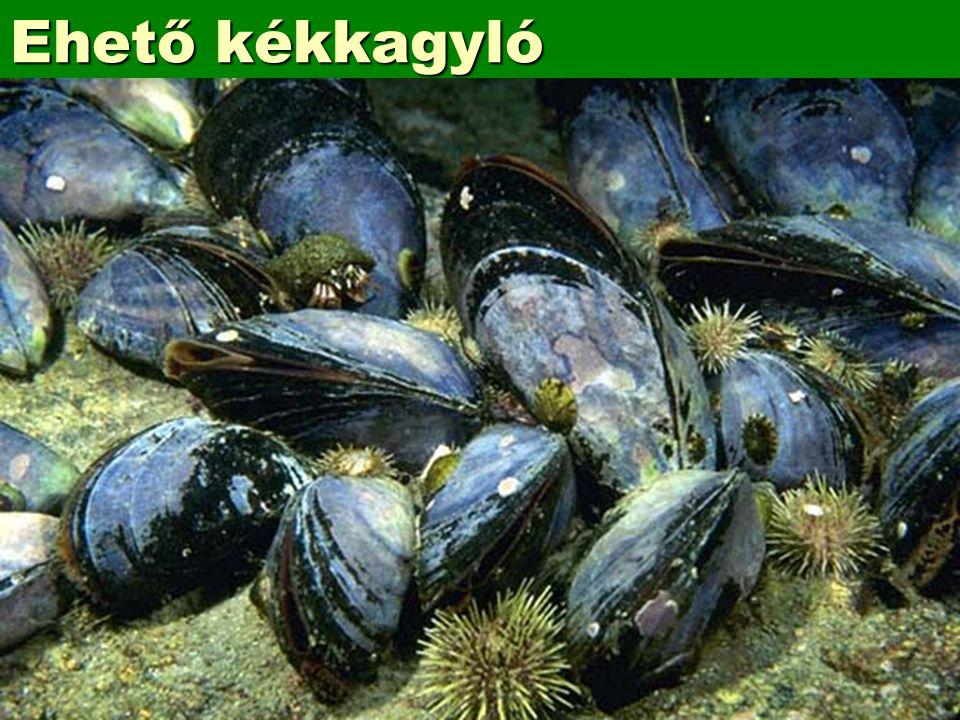 Ehető kékkagyló