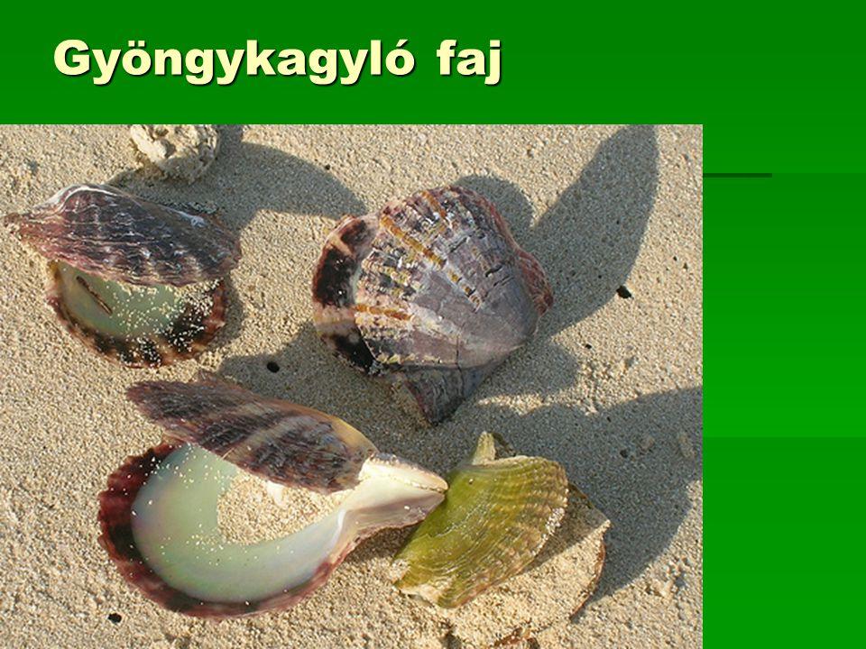 Gyöngykagyló faj