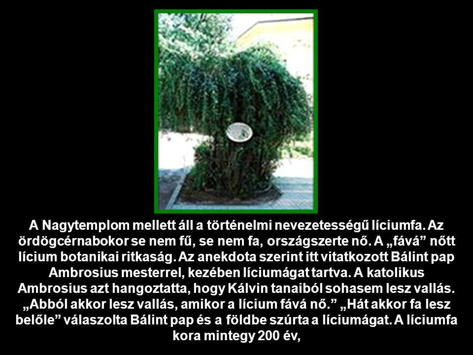 A Nagytemplom mellett áll a történelmi nevezetességű líciumfa