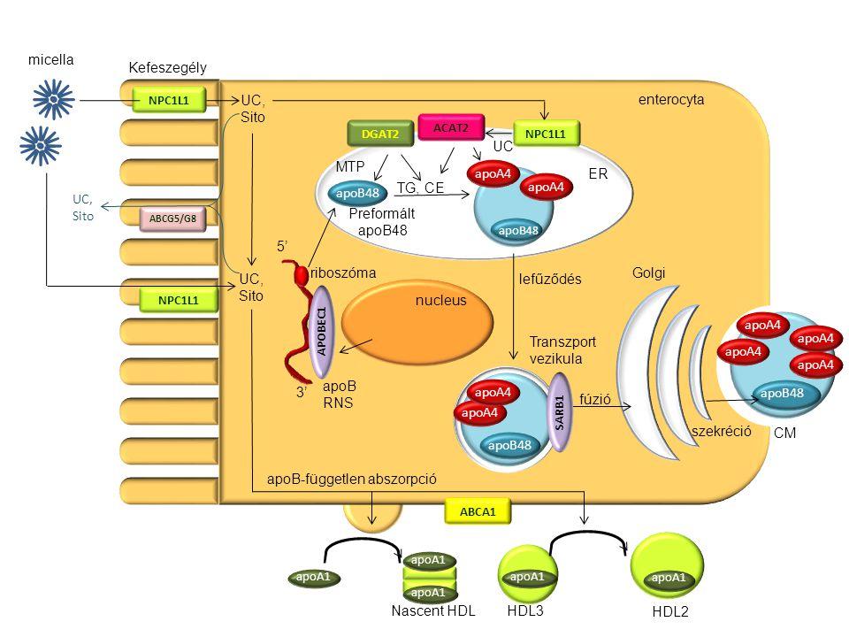 apoB-független abszorpció apoB45