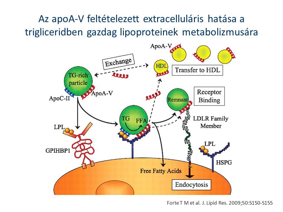 Az apoA-V feltételezett extracelluláris hatása a trigliceridben gazdag lipoproteinek metabolizmusára