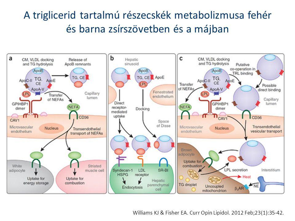 A triglicerid tartalmú részecskék metabolizmusa fehér és barna zsírszövetben és a májban