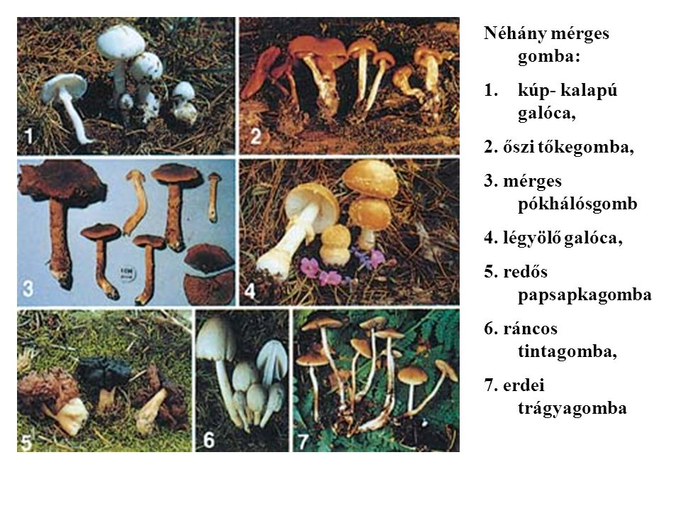 Néhány mérges gomba: kúp- kalapú galóca, 2. őszi tőkegomba, 3. mérges pókhálósgomb. 4. légyölő galóca,