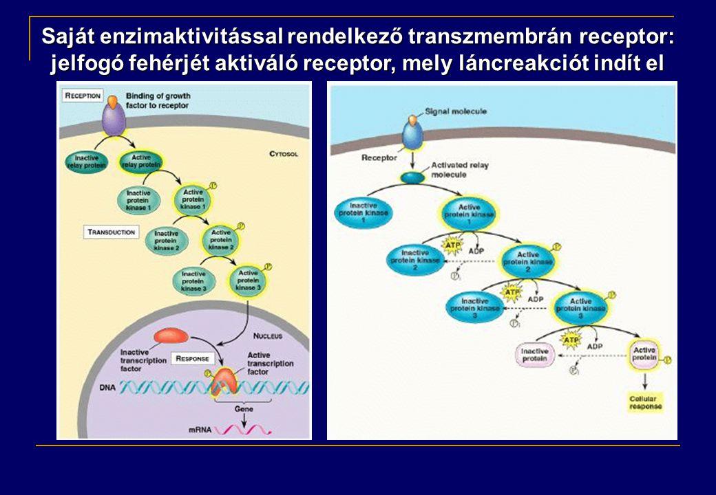 Saját enzimaktivitással rendelkező transzmembrán receptor: